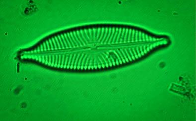 Diatom in green light under a microscope.