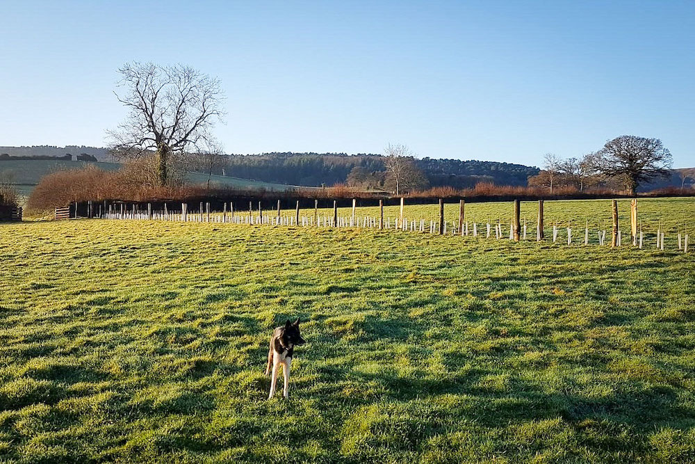 New Hedge Planted At Horner Farm In Porlock On On Bright Winter Morning With Dog In Foregound.